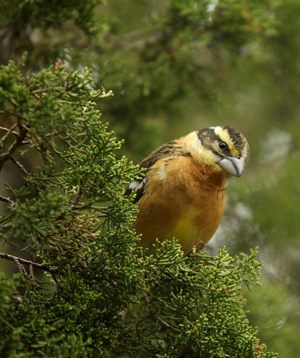 Black Headed Grosbeak NM rs