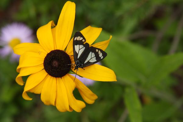 Sunflower NM rs