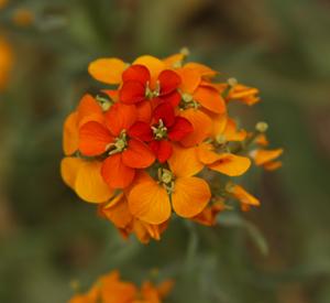 Wildflower1 NM rs